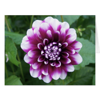 Purple and White Dahlia Card