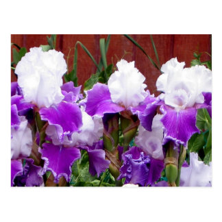 Purple and White Irises Postcard