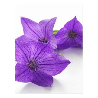 purple bellflower postcard