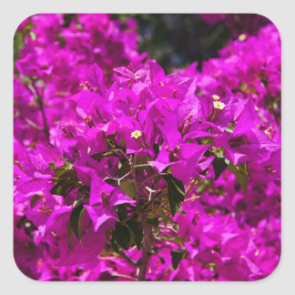 Purple Bougainvillea flowers Square Sticker