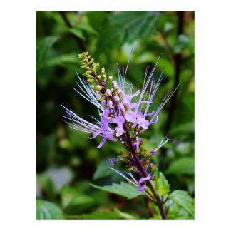 Purple Butterfly Bush Postcard