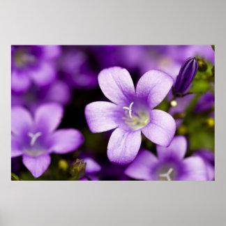 Purple Campanula Print