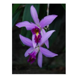 Purple Cattleya orchid Postcard