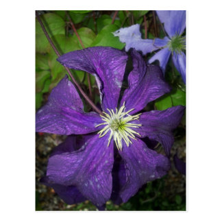 Purple Clematis Flower Postcard