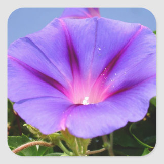 Purple Colored Morning Glory Flower Square Sticker