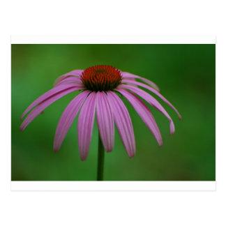 Purple Coneflower Postcard