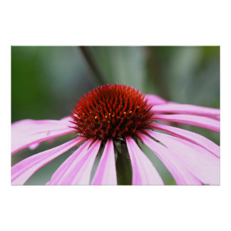Purple Coneflower Print