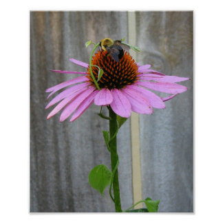 Purple Coneflower With Bee Poster