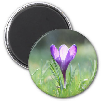 Purple Crocus in spring 03.3 Magnet