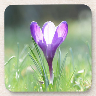 Purple Crocus in spring Coaster