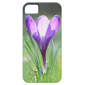 Purple Crocus in spring iPhone 5 Cover