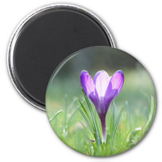 Purple Crocus in spring Magnet