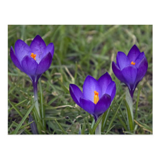purple crocus postcard
