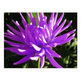 Purple dahlia postcard