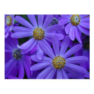 Purple Daisies - Postcard #1
