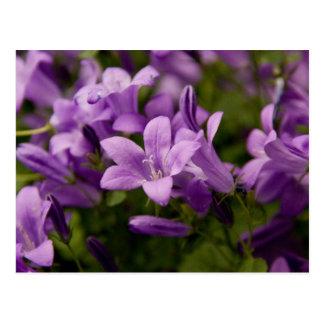 Purple Dalmatian Bellflowers Postcard