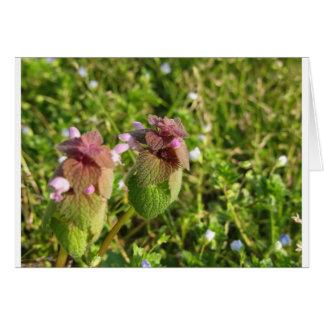 Purple Dead-nettle ( Lamium purpureum ) on green Card