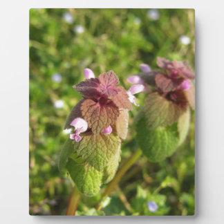 Purple Dead-nettle ( Lamium purpureum ) on green Plaque