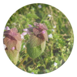 Purple Dead-nettle ( Lamium purpureum ) on green Plate