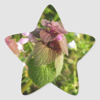 Purple Dead-nettle ( Lamium purpureum ) on green Star Sticker