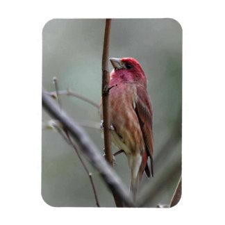 Purple Finch Rectangular Photo Magnet