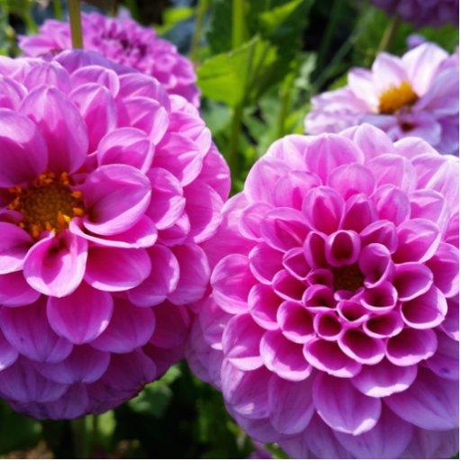 Purple Flower Photo Cut Outs
