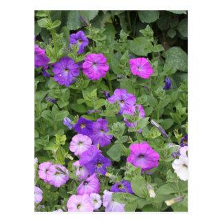 Purple Flowers Spring Garden Theme Petunia Floral Postcard
