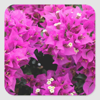 Purple Fuchsia Bougainvillea Background Square Sticker