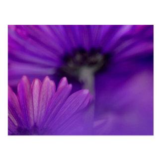 Purple Gerbera Flower Postcard