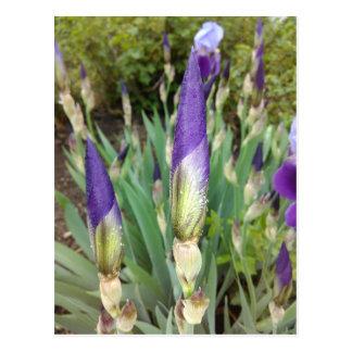 Purple German Iris Buds Postcard