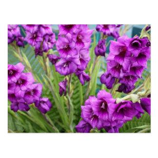 Purple Gladioli Postcard