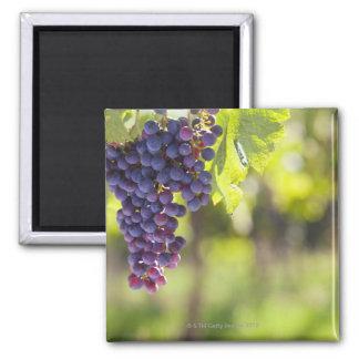 Purple grapevine square magnet