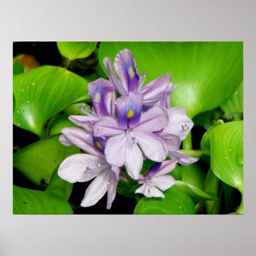 Purple Hyacinth Poster