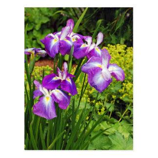 Purple iris flower garden postcard