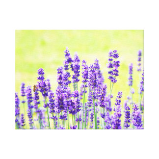 Purple Lavender Plant Canvas Print