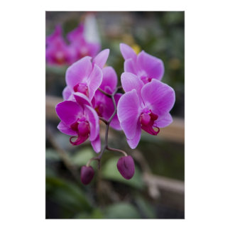 Purple orchids in bloom poster