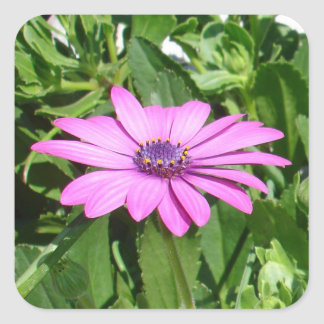 Purple Osteospermum Against Green Leaves Square Sticker