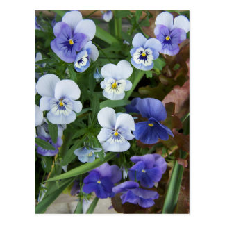 Purple Pansy Flower Postcard