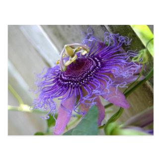 Purple Passion tropical flower blossom up close Postcard