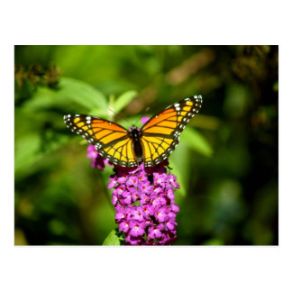 Purple Perch ( Viceroy Butterfly) Postcard