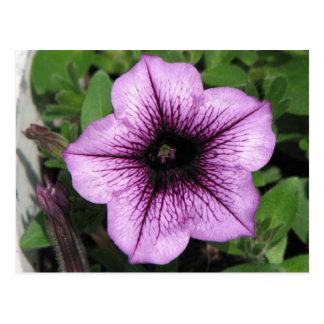 Purple Petunia Postcard