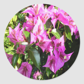 Purple Pink Bougainvillia In Blossom Classic Round Sticker
