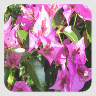 Purple Pink Bougainvillia In Blossom Square Sticker