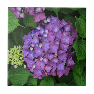 Purple pink hydrangea flower in bloom tile