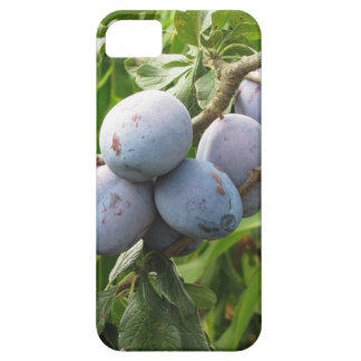 Purple plums hanging on the tree . Tuscany, Italy iPhone 5 Cover