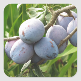 Purple plums hanging on the tree . Tuscany, Italy Square Sticker