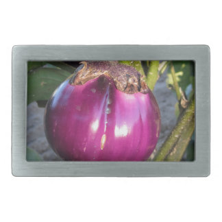 Purple round eggplant hanging on tree rectangular belt buckles