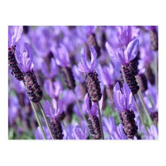 Purple Spanish Lavender Postcard