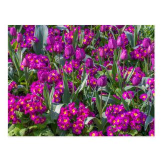 Purple tulips and primroses postcard