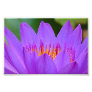Purple Water Lily Flower Blossom Photo